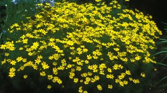 Thread-Leaf Coreopsis